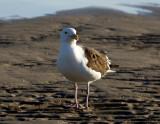 Curious gull