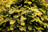 False Cypress changing color