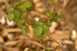 Rosa 'Shakespeare' new growth