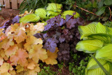 Orangey colored heucheras help with fall color
