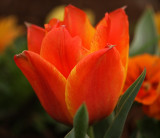 Tulip 'Cape Cod'