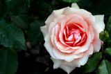 Rose 'Apricot Nectar'