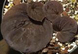 Nervillia plicata foliage.