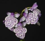 Ponerorchis graminifolia 2