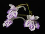Ponerorchis graminifolia 30