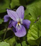 Viola odorata. Close-up.