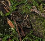 Anoectochilus spec.