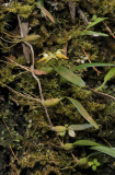 Bulbophyllum triflorum.