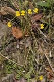Utricularia involvens