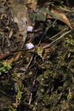 Utricularia striatula.