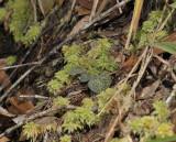 Corybas geminigibbus. Foliage.