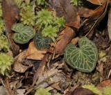 Corybas geminigibbus. Closer.