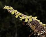 Dischidia species.