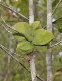 Dischidia species 2.
