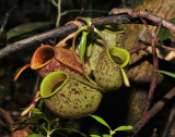 Nepenthes ampullaria. Aerial pitchers.