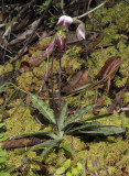 Paphiopedilum callosum var. warnerianum.