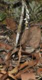 Zeuxine affinis