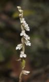 Zeuxine affinis. Closer-up.
