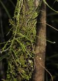 Podochilus spec. 2.