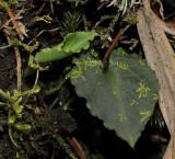 Corybas spec. foliage.