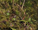 Corybas carinatus. In habitat.
