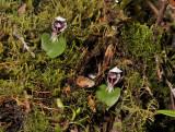 Corybas carinatus