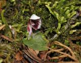 Corybas carinatus. Closer up side.