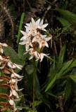 Coelogyne papillosa