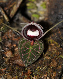 Corybas pictus. Close-up.
