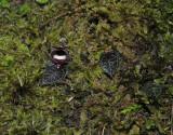 Corybas pictus