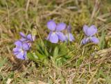 Viola hirta. Pale clone.