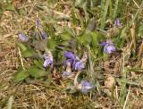 Viola rupestris.
