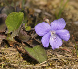 Viola rupestris. Close-up.