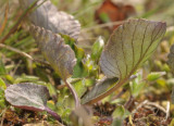 Viola rupestris. Leaf detail.