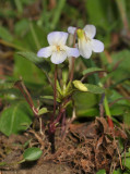 Viola persicifolia var. lacteaeoides. (This is exactly the same plant as the previous one but a week later.