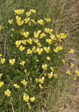 Viola lutea subsp. calaminaria. Big clump.
