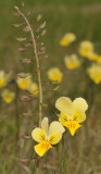 Viola lutea subsp. calaminaria with Thlaspi caerulescens.