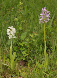 Orchis militaris. fma. alba and the normal form.