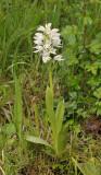 Orchis militaris. fma. alba.