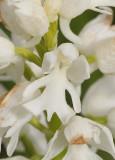 Orchis militaris. fma. alba. Close-up.