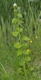 Alliaria petiolata.
