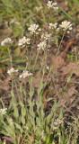 Thlaspi caerulescens. Closer.