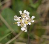 Thlaspi caerulescens. Close-up.