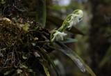 Angraecum striatum with frost damage.