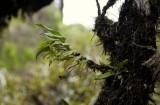 Angraecum obversifolium.