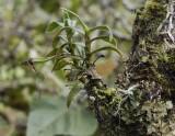Angraecum expansum in fruit.