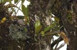 Bulbophyllum occultum