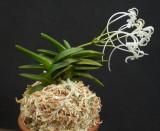Neofinetia falcata 'Kinku Jaku'.Compact growth with yellow markings on the foliage