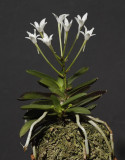 Neofinetia falcata 'Tamakongo'. Year one