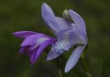 Bletilla striata 'Murasaki Shikibu' comparing colours with  the normal (purple) form